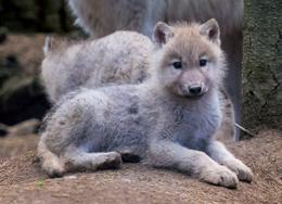 Loups de Chabrières 2014