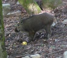 Sanglier - Loups de Chabrières